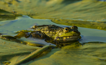 marsh toad on the leaves of a water lily.