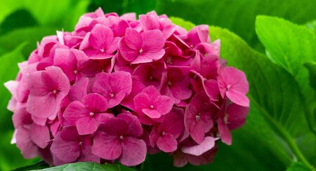 hydrangea flower on a background of leaves in the garden.