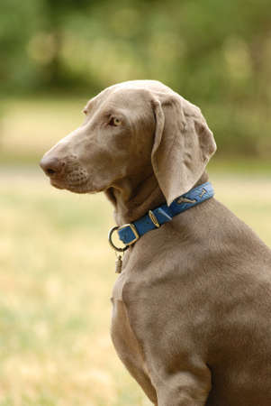 A  grey German short haired Pointer dog head portrait with sad expression in the face watching other dogs in a park  photo