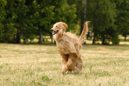 runing: Pure breed afghan hound runing
