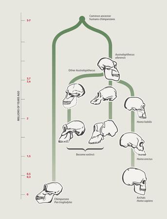 evolucion: La evolución humana (cráneos) Vectores