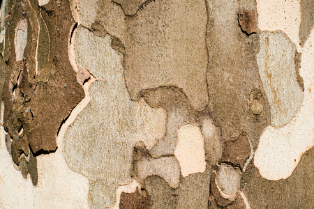 bark background: Plane tree bark close up background