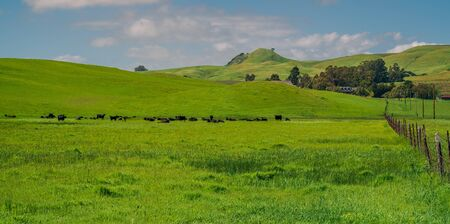 green pasture with cows in a farm at Sonoma, California, USA.
