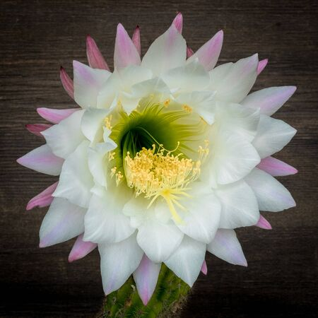 Close up on Echinopsis  Flower. Cactaceae plant, genus Echinopsis, in his rare blossoming. Stockfoto