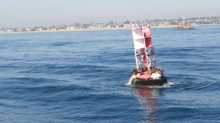 Seals on buoy in pacific ocean, whale watching tour in Newport beach, California USA. Colony of wild animals, sea lions herd on floating navigational beacon. Marine mammals rookery in natural habitat.