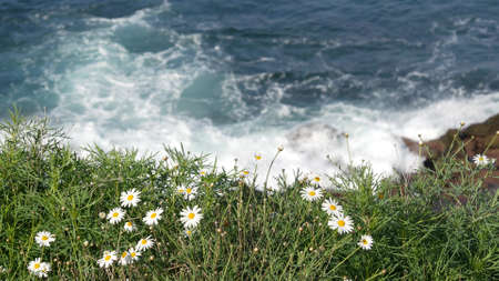 Simple white oxeye daisies in green grass over pacific ocean splashing waves. Wildflowers on the steep cliff. Tender marguerites in bloom near waters edge in La Jolla Cove San Diego, California USA. Stock Photo