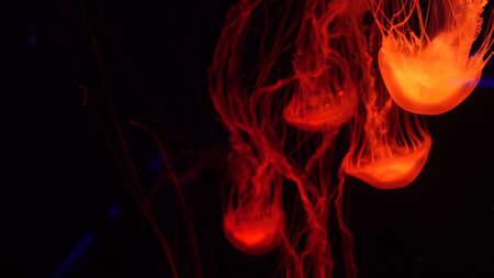 Shiny vibrant fluorescent jellyfish glow underwater, dark neon dynamic pulsating ultraviolet blurred background. Fantasy hypnotic mystic pcychedelic dance. Vivid phosphorescent cosmic medusa dancing.