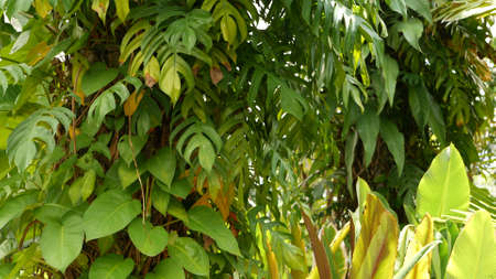 Juicy exotic tropical monstera leaves texture backdrop, copyspace. Lush foliage, greenery in paradise garden. Abstract natural dark green jungle vegetation background pattern, wild summer rain forest