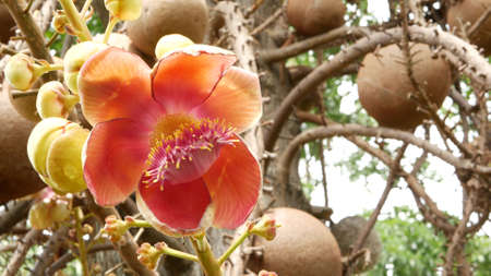 Exotic flowers and tree. Dangerous large powerful green tropical tree cannonball salalanga blooming beautiful orange pink tender flowers. Natural tropical exotic background.