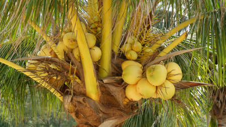 Close-up of exotic yellow unripe young fresh coconuts growing on green palm among leaves on sunny day. Natural texture. Tropical symbol, summer evergreen plant. Healthy organic vegetarian food