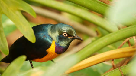 Golden-breasted royal starling in tropical rainforest. Exotic african wild bird in green lush foliage. Colorful plumage, iridescent multi colored feathers. Tree canopy in jungle paradise forest. Banco de Imagens