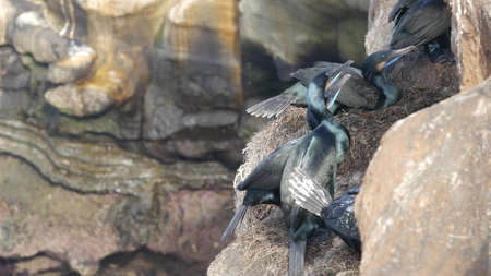 Double-crested cormorant after fishing on rock. Sea bird with hooked bill and blue eye nesting on steep cliff near pacific ocean. Waterbird in natural habitat, La Jolla Cove, San Diego, California USA
