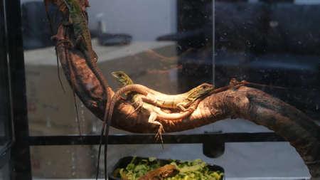 Baby lizards chilling in terrarium. Small lizard lying and resting inside hot terrarium on Chatuchak Market in Bangkok, Thailand.
