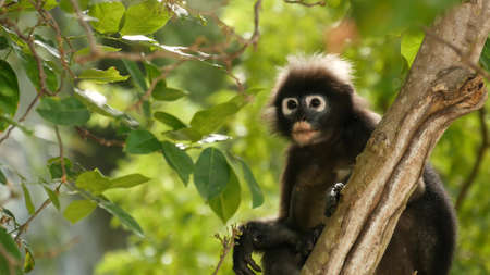 Cute spectacular leaf langur, dusky monkey on tree branch amidst green leaves in Ang Thong national park in natural habitat. Wildlife of endangered species of animals. Environment conservation concept.