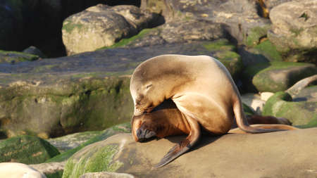 Sea lion on the rock in La Jolla. Wild eared seal resting near pacific ocean on stone. Funny wildlife animal lazing on the beach. Protected marine mammal in natural habitat, San Diego, California USA.