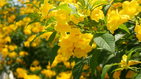 Beautiful yellow flowers in bunches on the branches of a bush. Natural floral background. Spring mood, sunny and bright contrast of colors, tropical exotic plants with green leaves from paradise