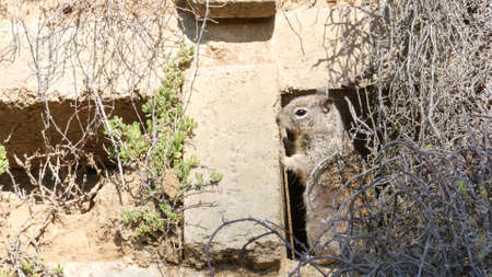 Beechey ground squirrel, common in California, Pacific coast, USA. Funny behavior of cute gray wild rodent. Small amusing animal in natural habitat. Pretty little endemic looking for food in America. Imagens