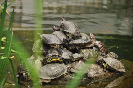 Group of turtles climbing each other while gathering on rock in water of pond. Group of turtles on rock in water Standard-Bild