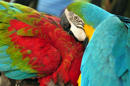 Tropical multicolored macaw birds, View of blue and yellow macaw with green-winged macaw in wild nature Standard-Bild