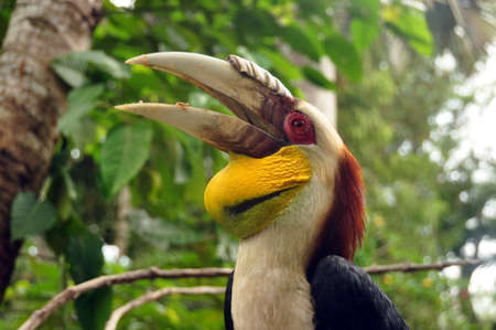 Multicolored great Indian hornbill, Beautiful exotic great Indian hornbill with big beak against tropical forest