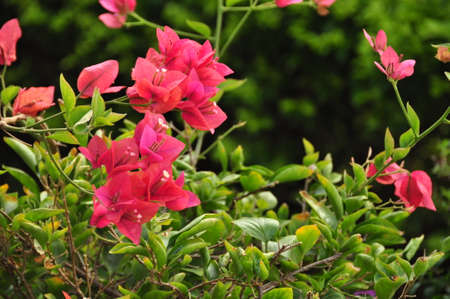 Green lush bush with bright pink flowers blooming in daylight. Beautiful tropical pink flowers on bush Standard-Bild