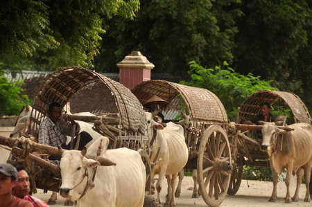 BAGAN, MYANMAR - NOVEMBER 18, 2015 View of village farmers sitting in carts and riding in row with bulls in harness, Myanmar. Farmers in carts harness with bulls