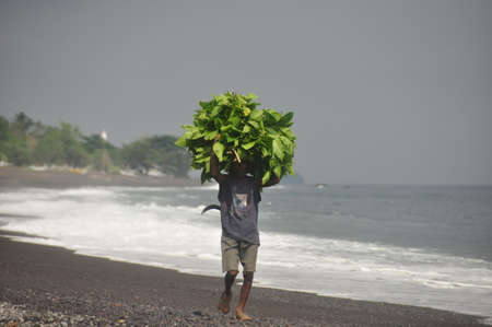BALI, INDONESIA - 7 MAY 2014 Ethnic man carrying huge pile of green leaves on volcanic black sandy beach of Bali. Worker poor Man carrying green bunch on black sandy beach from Agung or Batur volkano Editorial
