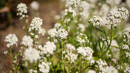 Tender white flowers in garden, California USA. Springtime meadow romantic atmosphere, morning delicate pure greenery. Spring fresh garden or lea in soft focus. Natural botanical blossom close up.