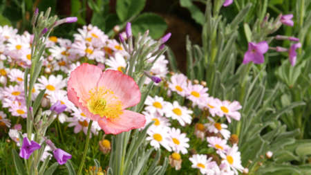 Pink soft daisy flower blossom, delicate marguerite. Natural botanical close up background. Wildflower bloom in spring morning garden or meadow, home gardening in California, USA. Springtime flora.