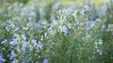 Rosemary salvia herb in garden, California USA. Springtime meadow romantic atmosphere, morning wind, delicate pure greenery of aromatic sage. Spring fresh garden or lea in soft focus. Flowers blossom.