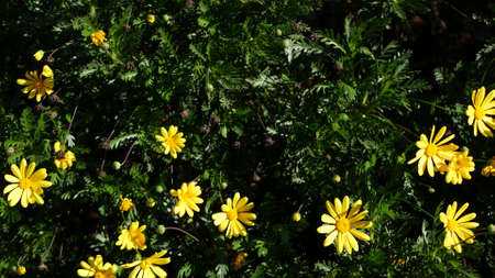 Yellow daisy flowers blossom, home gardening in California, USA. Natural botanical close up background.
