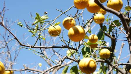 Citrus orange fruit, bare leafless tree, California USA. Spring garden, american local agricultural farm plantation, homestead horticulture. Juicy fresh exotic tropical harvest on branch. Blue sky. Standard-Bild