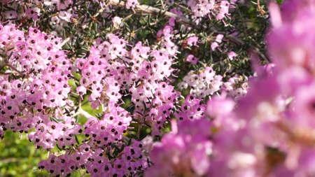 Heath tree pink flowers, California USA. Erica arborea briar root springtime bloom. Home gardening, american decorative ornamental houseplant, natural botanical atmosphere. Lilac mauve spring blossom.