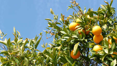 Citrus orange fruit on tree, California USA. Spring garden, american local agricultural farm plantation, homestead horticulture. Juicy fresh leaves, exotic tropical harvest on branch. Springtime sky.