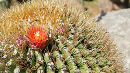 Cactus succulent plant, California USA. Desert flora, arid climate natural flower, botanical close up background. Green ornamental unusual houseplant. Gardening in America, grows with aloe and agave.