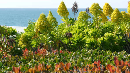Aeonium arboreum houseleek tree yellow flower, California USA. Irish rose succulent inflorescence. Home gardening, american decorative ornamental houseplant, natural botanical ocean beach atmosphere.