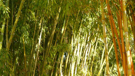 Bamboo forest, exotic asian tropical atmosphere. Green trees in meditative feng shui zen garden. Quiet calm grove, morning harmony freshness in thicket. Japanese or chinese natural oriental aesthetic.