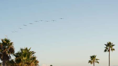 Big pelican birds flying, pelecanus flock soaring in sky, large wingspan. Palm tree in Oceanside, California waterfront pacific ocean tropical beach resort, USA. Summertime sea coastline vacations.