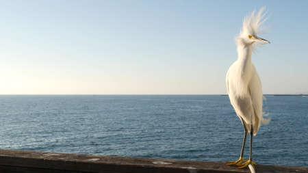 White snowy egret on wooden pier railings, Oceanside boardwalk, California USA. Ocean beach, sea water waves. Close up of coastal heron bird, seascape and blue sky. Funny animal behavior portrait.