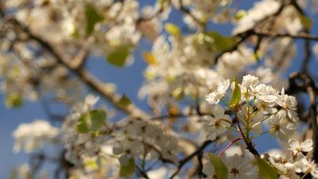 Spring white blossom of cherry tree, California, USA, Balboa Park. Delicate tender sakura flowers of pear, apple or apricot. Springtime fresh romantic atmosphere, pure botanical bloom soft focus bokeh