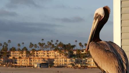 Wild brown pelican on wooden pier railing, Oceanside boardwalk, California ocean beach, USA wildlife. Gray pelecanus by sea water. Close up of coastal big bird in freedom and seascape. Large bill beak Standard-Bild