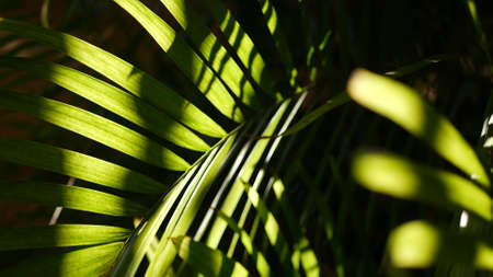 Exotic jungle rainforest tropical atmosphere. Palm fresh juicy frond leaves in amazon forest or garden. Contrast dark natural greenery lush foliage. Evergreen ecosystem. Paradise aesthetic background. Standard-Bild