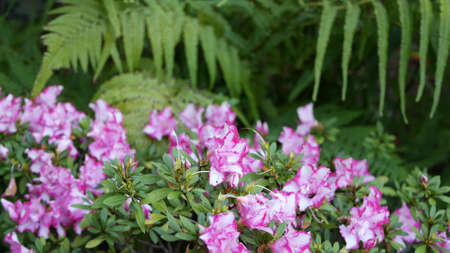 Azalea rhododendron purple flower in forest, California USA. Springtime morning atmosphere, delicate violet pink blossom, green fern plant frond leaves. Spring fairy botanical pure freshness in wood.