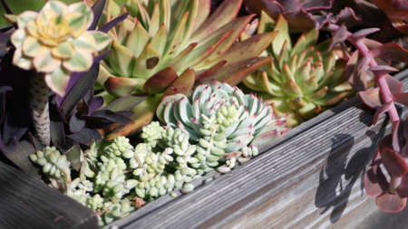 Succulent plants collection, gardening in California, USA. Home garden design, diversity of various botanical hen and chicks. Assorted mix of decorative ornamental echeveria houseplants, floriculture.