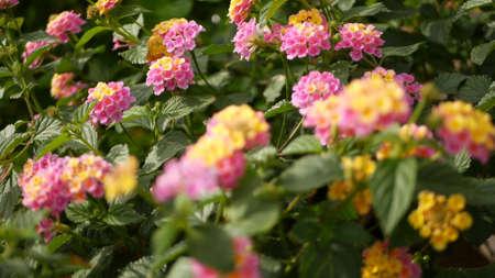 Lantara camara yellow pink flower in garden California USA. Umbelanterna springtime pure colorful bloom, romantic botanical atmosphere, delicate tender blossom. Spring light colors. Fresh calm morning