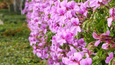 Ornamental garden flowers, home gardening in California, USA. Decorative botanical floriculture. Flora bloom, juicy plant colors. Standard-Bild