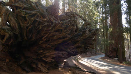 Roots of fallen sequoia, giant redwood tree trunk in forest. Uprooted large coniferous pine lies in national park of Northern California, USA. Environmental conservation and tourism. Old-growth woods. Standard-Bild