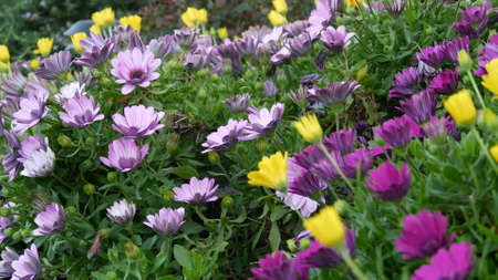 Daisy or marguerite colorful flowers, California USA. Aster or cape marigold multicolor purple violet bloom. Home gardening, american decorative ornamental houseplant, natural botanical atmosphere.