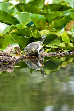 herpetology: Turtle walking on the green water lily. Stock Photo