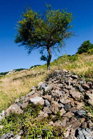 lonley: Lonley tree in mountain field, cornfield fallow wheat field